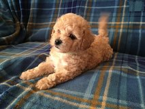 Maltipoo Puppies in Los Angeles, California