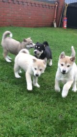 Beautiful Siberian Husky Pups in Los Angeles, California