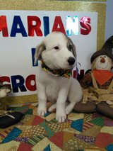 Pyre/Anatolian puppies in DeRidder, Louisiana