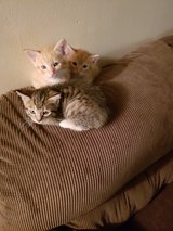 kittens in Spring, Texas