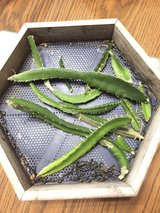 Cactus clippings in St. Charles, Illinois
