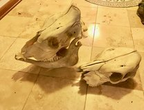 Two Real Cow Skulls in Chicago, Illinois