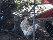 Chickens in Beaufort, South Carolina