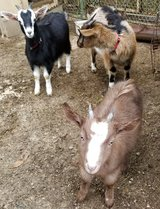 3 Female Goats in Rolla, Missouri