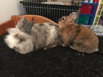 2 Bunnies with Cage to good home in Stuttgart, GE