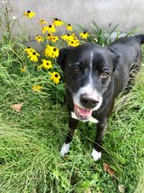 6 year old boxer retriever mix in Fort Drum, New York