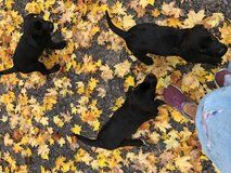 Akc lab pups in Fort Drum, New York