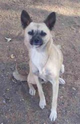 Lost female chihuahua mix REWARD in Yucca Valley, California