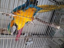 healhy Blue And Gold Macaw  read to go now 2148140362 in Los Angeles, California