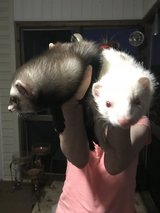 Two female ferrets/cage/foldable play pen/pet stroller in Warner Robins, Georgia