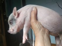 small pigs in Hopkinsville, Kentucky