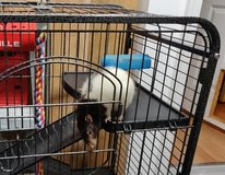 Robby the Rat needs a new home and new friends! in Fort Campbell, Kentucky