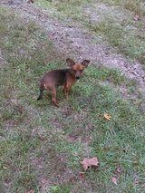 FREE to Good Home Loving Small Dog in Livingston, Texas