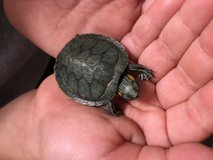 Turtles FOR PETS! in Yucca Valley, California