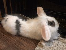 mini lop/lion head mix bunny. Comes with cage. in Fort Leonard Wood, Missouri