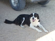 Lost Female Border Collie Landers/Yucca in Yucca Valley, California