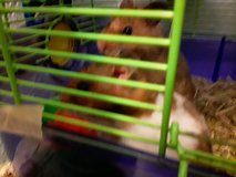 2 Hamsters with cage in Rolla, Missouri