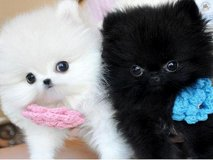Two Awesome T-Cup Pomeranian Puppies*sMs(317)623-8716 in Los Angeles, California