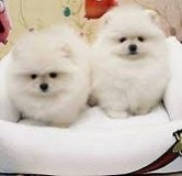 White Pomeranian Puppies/*sMs(203) 694-0908 in New Orleans, Louisiana