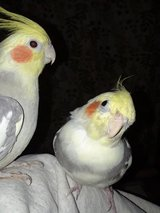 Parakeets, Cockatiels, Lovebird, Quaker for adoption (rescue) in Chicago, Illinois