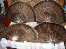 4 Cured Turkey Fans for Decoys in Clarksville, Tennessee