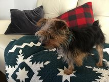 Yorkie black and brown in Fort Rucker, Alabama