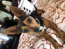 Young,playful,loving chihuahua only 5 month old in Fort Irwin, California