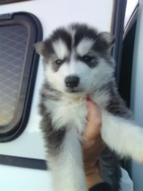 woolly husky/timber/greywolf pups in Camp Pendleton, California