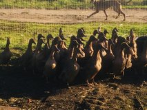 DUCKS for sale in Lakenheath, UK