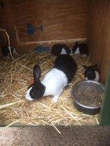 RABBITS, Babies available in Lakenheath, UK