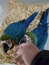 Hand Tame Baby Blue & Gold Macaws in Los Angeles, California