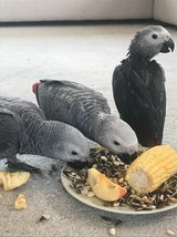 Beautiful Baby African Greys For Sale in Los Angeles, California