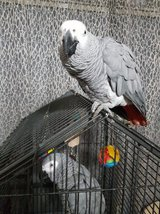 Pair Of African Grey Both Talking And Vocal B Tame in Los Angeles, California