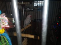 Indian grey Ringneck parrot parakeet female dna papers 4 years old in Clarksville, Tennessee