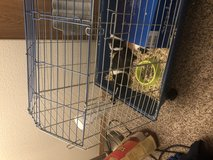 Guinea Pigs for free in Fort Lewis, Washington