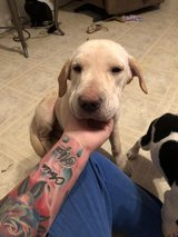 Lab mix in Fort Polk, Louisiana