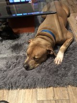 pit bull in Clarksville, Tennessee