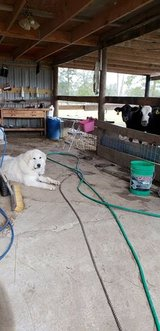 young Great Pyrenees ( male ) in Fort Polk, Louisiana
