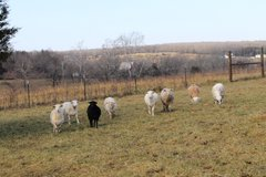 Katahdin Sheep 8 Ewes, 1 Ram, 1 Great Pyrenese in Rolla, Missouri