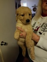 AKC Male Golden Retriever  Xmas Special in Fort Lewis, Washington