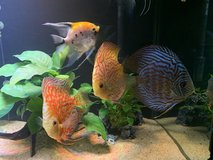 Need to rehome my Discus in Okinawa, Japan