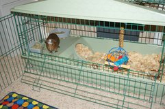 Guinea Pig: fun, low maintenance pet w/ large cage, run-around pen and accessories in Warner Robins, Georgia