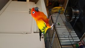 Sun conure in Fort Lewis, Washington