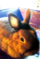 dwarf and mini rex and polish bunnies need homes in Chicago, Illinois