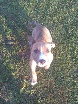 Free male pit mix in Pasadena, Texas
