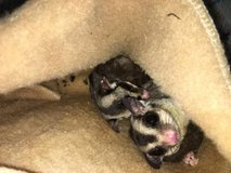 Baby hedgehogs ready for new homes and sugar gliders in Lawton, Oklahoma