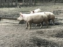 Breeding age sows in Leesville, Louisiana