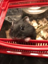 dwarf hamster in The Woodlands, Texas