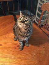 cat to rehome in Bolingbrook, Illinois