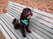 kidsfriendly Therapy Dog Maltipoo male 4 y/o in Ramstein, Germany
